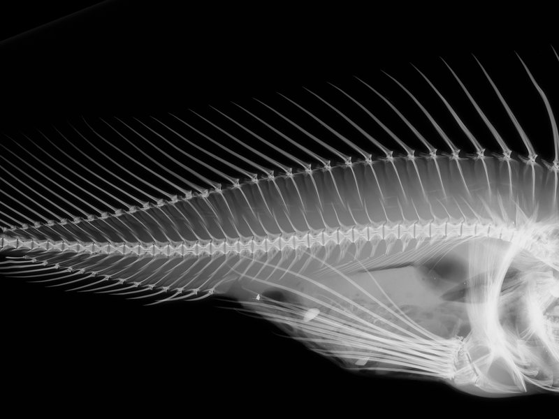 Red Indian fish xray