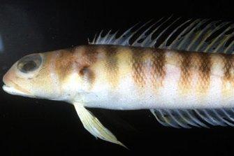 Redbanded Grubfish, Parapercis binivirgata