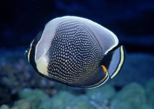 A Reticulated Butterflyfish