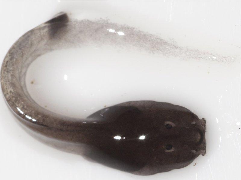 Rhacophorus Vampyrus