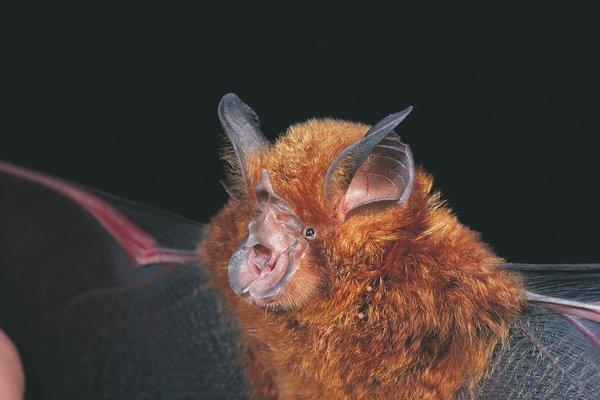 Rhinolophus megaphyllus