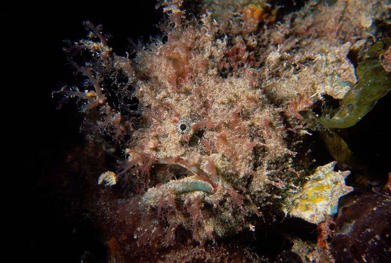 Rhycherus gloveri