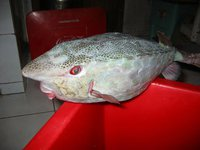 Horn-nose Boxfish, <i>Rhynchostracion rhinorhynchos</i>