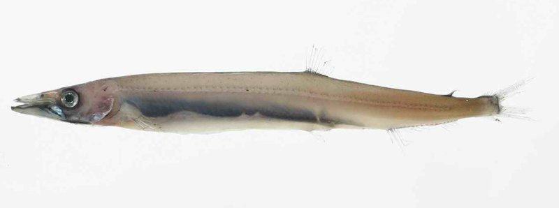 Ribbon Barracuda,<i> Arctozenus risso</i>