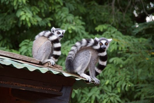 Ring Tailed Lemurs at Berenty