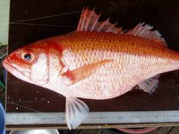 Ruby Snapper, Etelis carbunculus