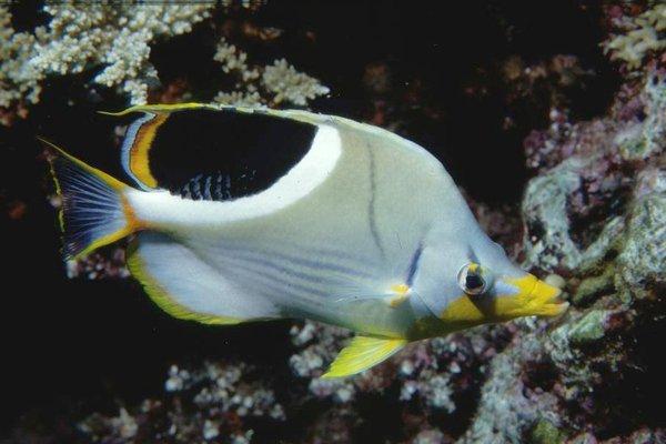 Saddled Butterflyfish, <i>Chaetodon ephippium</i>