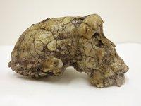 Sahelanthropus tchadensis, Toumai skull