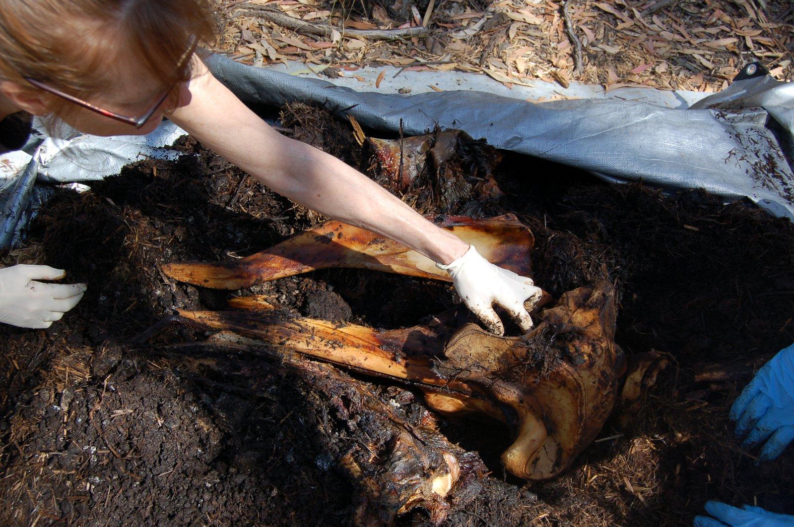 Sandy Ingleby unearths whale skull