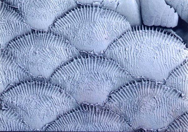 Scales of a Paradise Fish, Macropodus opercularis