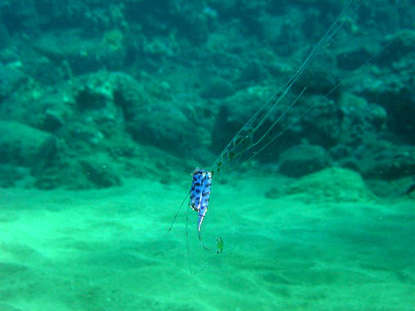 Scalloped Ribbonfish, Zu cristatus