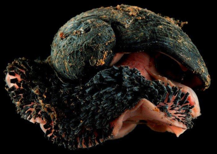 Scaly foot snail - Chrysomallon squamiferum