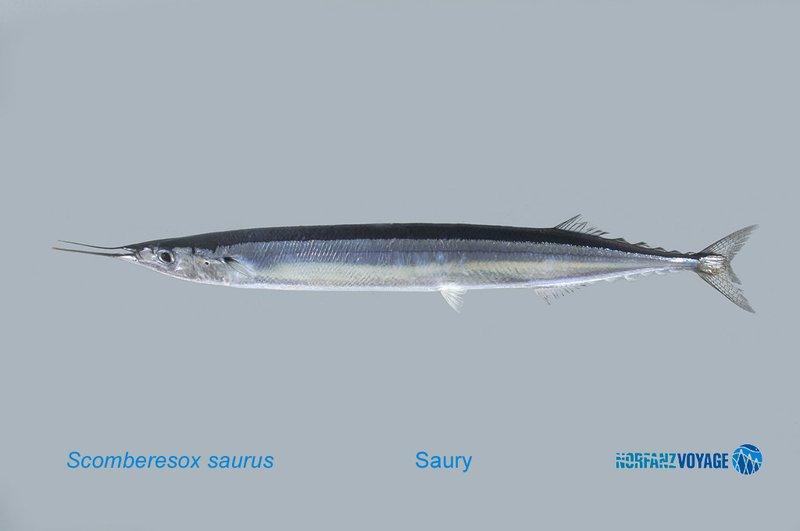 Scomberesox saurus