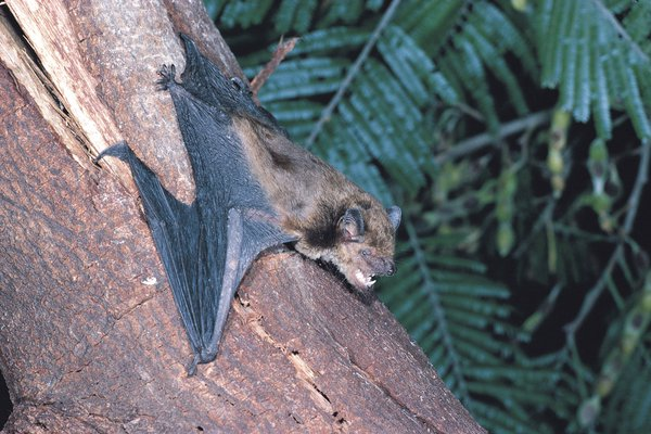 Eastern Broad-nosed bat , Scotorepens orion