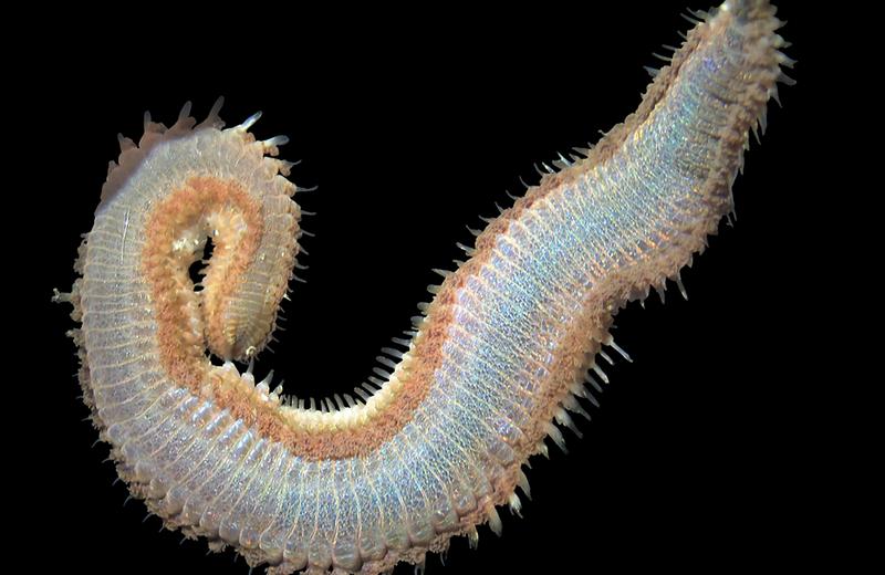 Fireworm, Amphinomidae, Eurythoe