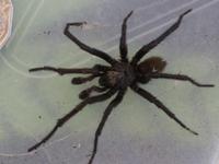 tube spider