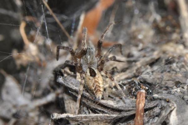 foliage webbing spider