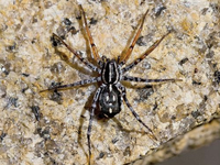 spotted ground spider