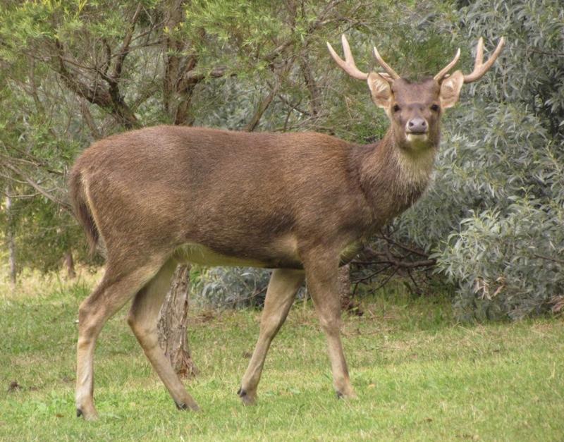 rusa deer
