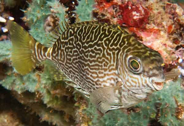 Scribbled Rabbitfish, Siganus spinus