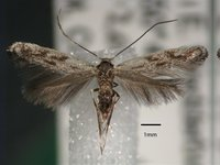 Scribbly gum moth