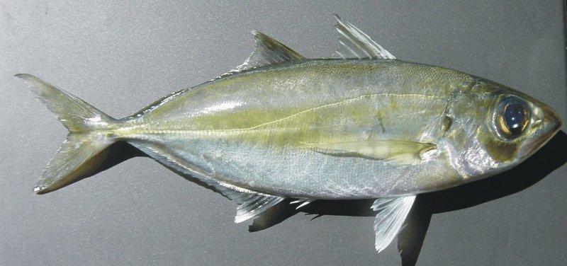 Selar crumenophthalmus