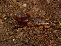 Shiny mole cricket