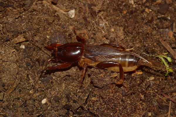 Shiny mole cricket