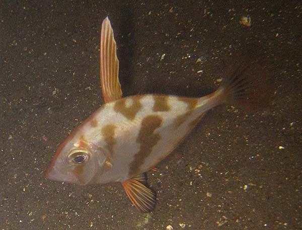 Silve1r Dory, Cyttus australis