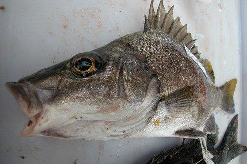 Silver Grunter, Mesopristes argenteus - head
