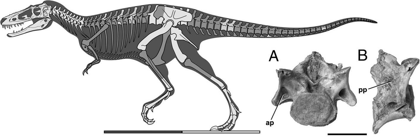Skeletal reconstruction of Alioramus altai