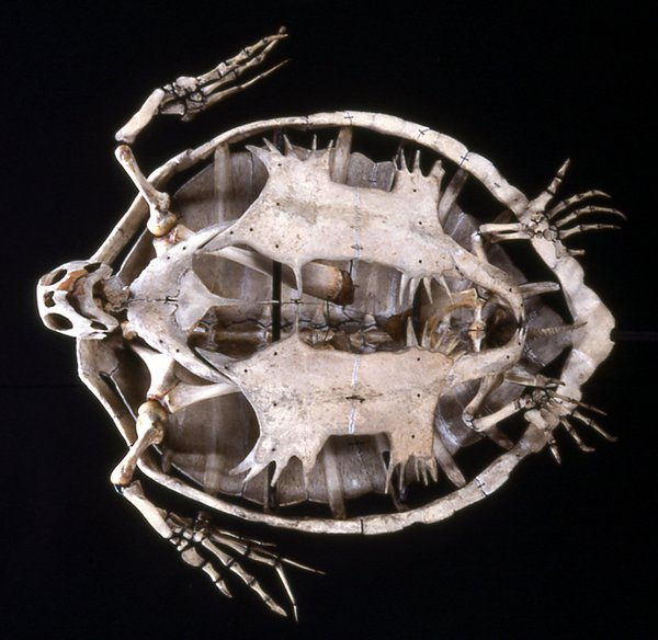 Skeleton of a Green Sea Turtle, Chelonia mydas.
