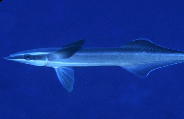 Slender Suckerfish, Echeneis naucrates