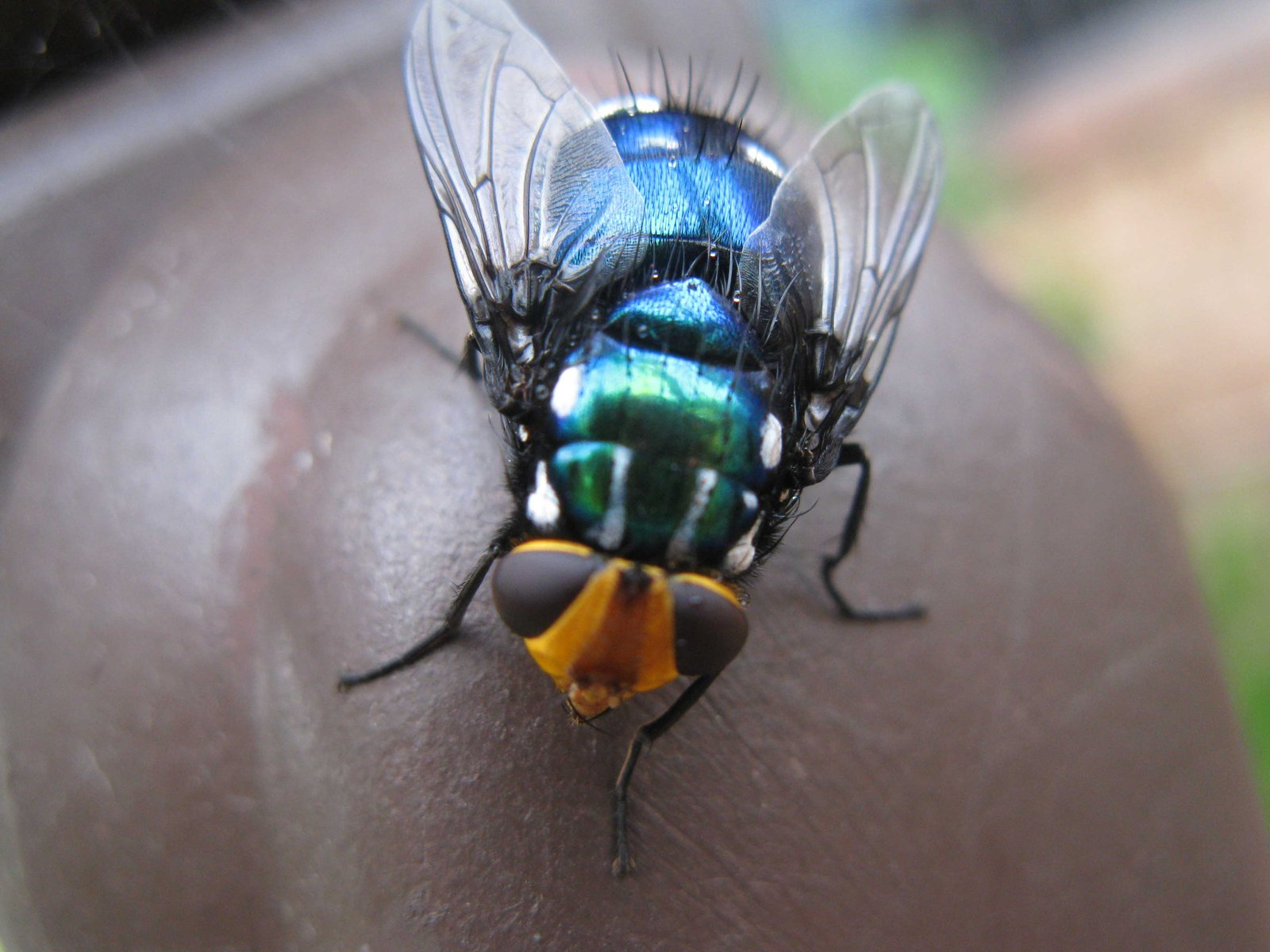 Snail Blowfly