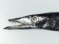 Snake Mackerel, Gempylus serpens