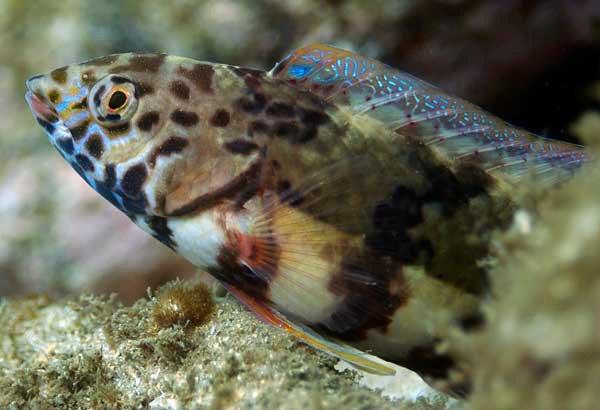 Snakeskin Wrasse, Eupetrichthys angustipes