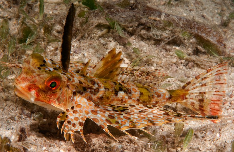 Purple Flying Gurnard, Dactyloptena orientalis