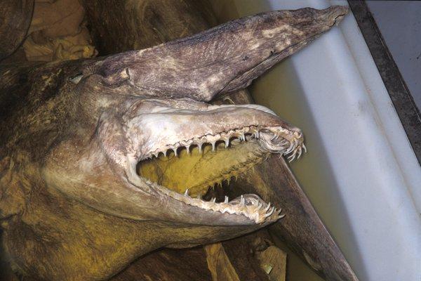 Goblin shark, Mitsukurina owstoni