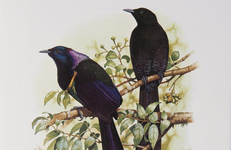 Astrapia rothschildi