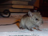 Black Rat juvenile