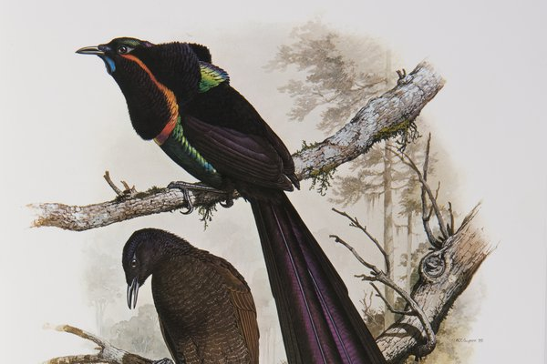 Astrapia nigra