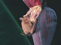 Syconycteris australis