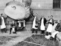 Sunfish - Mola alexandrini