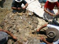 Centrosaurus apertus slab