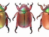 Christmas beetles