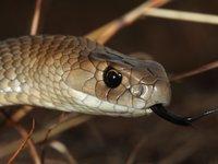 Eastern Brown Snake, Pseudonaja textilis