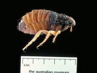 Siphonaptera, flea