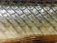 Ganoid scales of the Florida Gar, Lepisosteus platyrhincus.