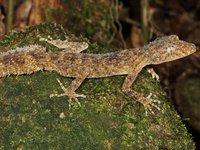 Southern Leaf-tailed Gecko Phyllurus platurus