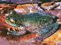 Wanted Frog Species - FrogID